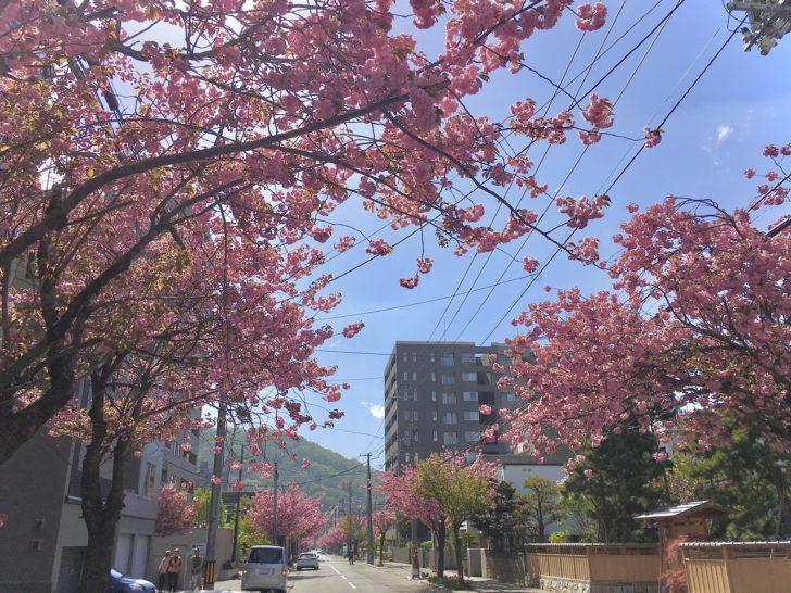 例年、5月頃に鮮やかなピンクの桜が咲き誇る、